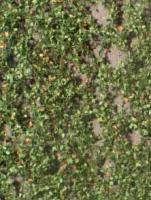 Beech_Foliage_Ea_4df499e9a30c5.jpg