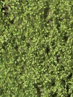 Beech_Foliage_Sp_4df48ba445c2d.jpg