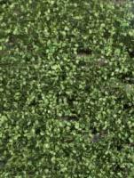 Beech_Foliage_Su_4df49154536ae.jpg