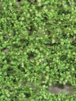 Poplar_Foliage_S_4df59215c2082.jpg